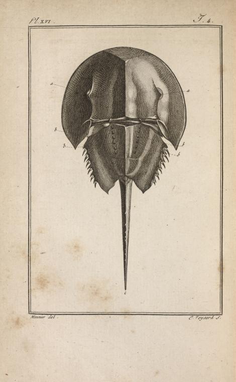 Le limule des Moluques, réduit, vu en dessus. From New York Public ...