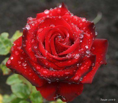 Roses Panosundaki Pin