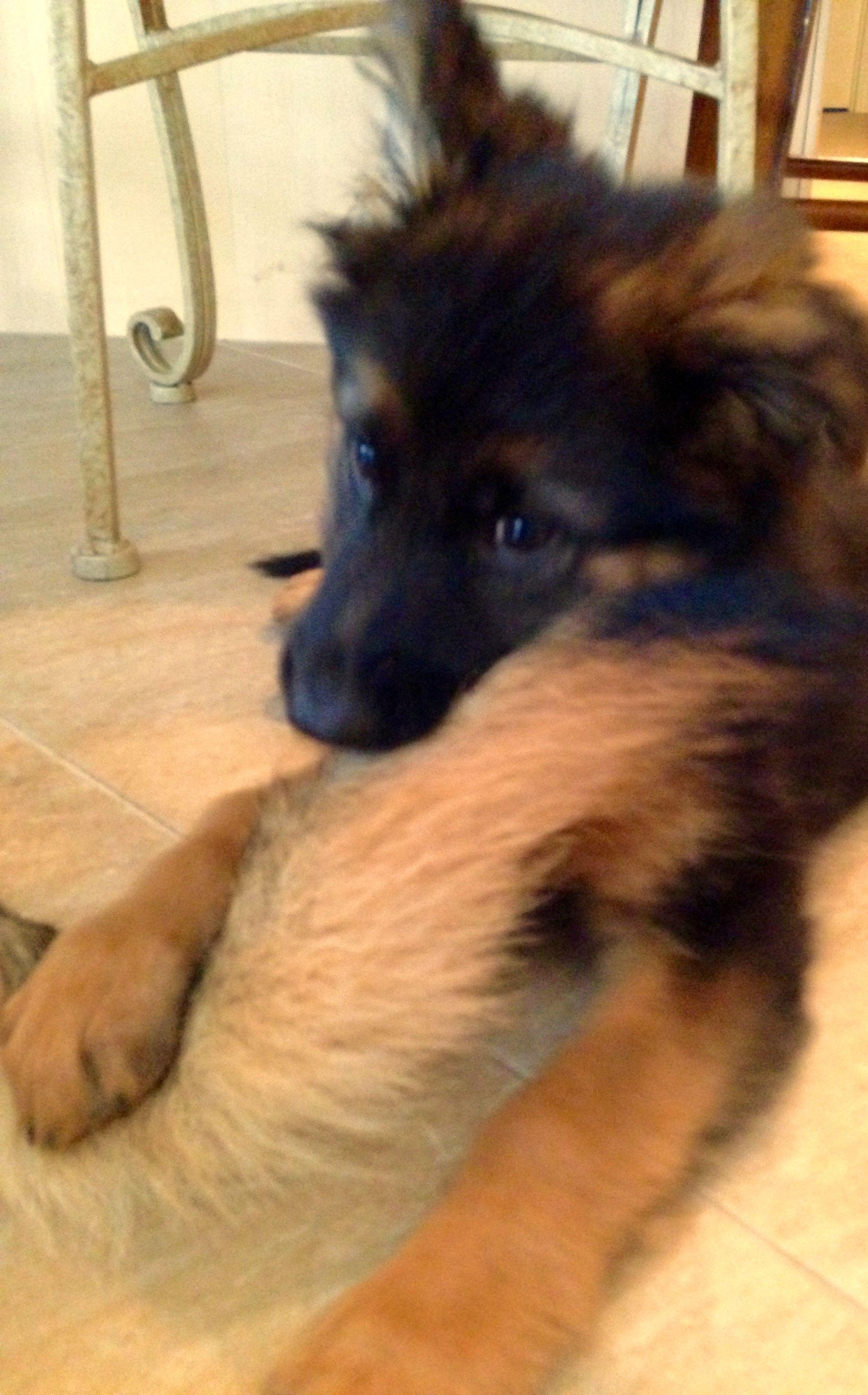 Gsd Puppy Finn Favorite New Chew Toy Sulli S Tail German