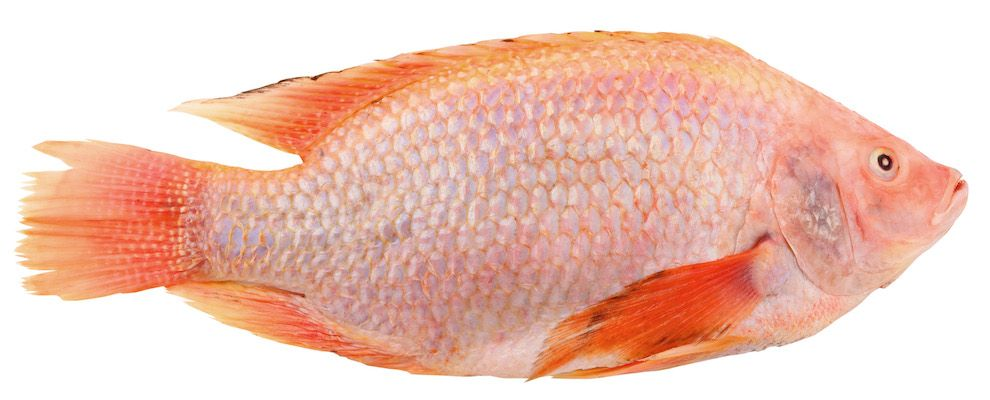 Wist je, dat van oorsprong een tropische zoetwatervis is. Veel koks zijn GEKop tilapia vanwege zijn stevig, mildsmakend vlees, waar vrijwel alle bereidingen op losgelaten kunnen worden; zoals roerbakken, pocheren, grillen, paneren, frituren etc. En… over je lijn of gezondheid hoef je je bij deze vis zeker niet druk te maken, want tilapia behoort tot de magere vissoorten en zit bomvol vitaminen, mineralen en omega 3 vetzuren. www.gekop.com
