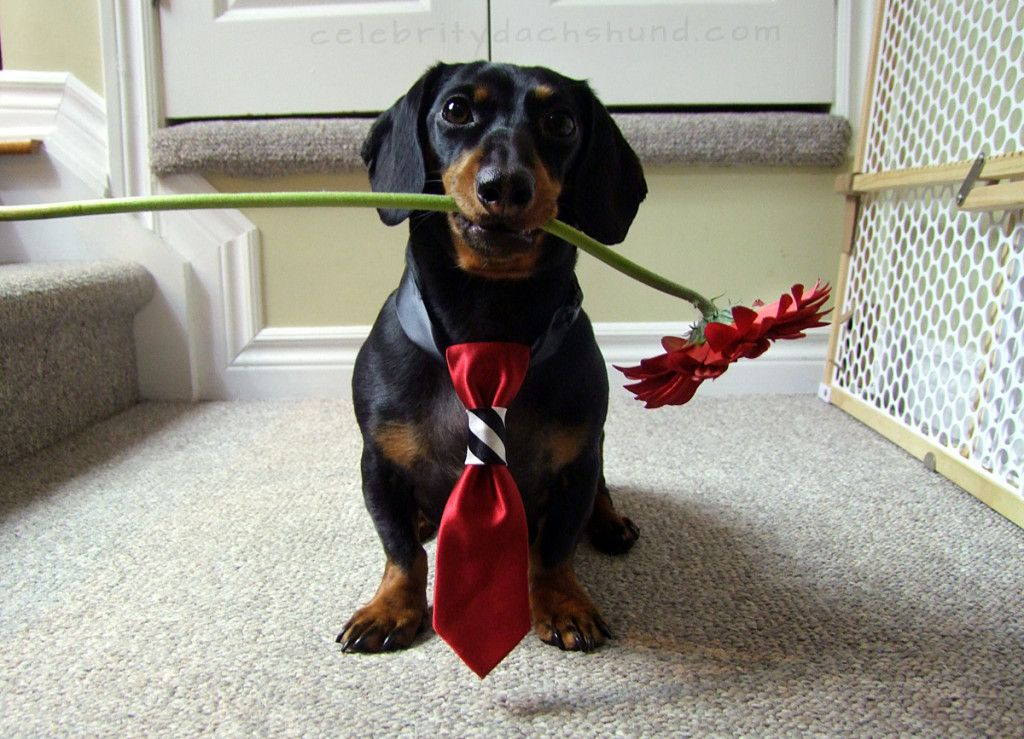 Dachshund dating