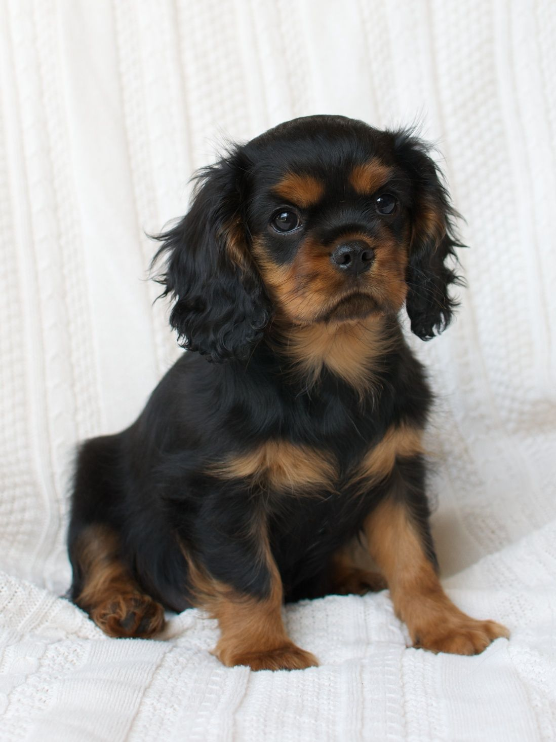 Black & Tan Cavalier King Charles Spaniel Puppy Cavalier