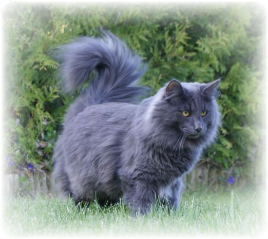 I Prefer Black Cats But This Blue Norwegian Forest Cat Is Amazing Norwegian Forest Cat Cute Cats And Dogs Forest Cat