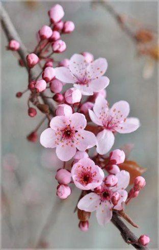 Cherry Blossom Tree Wallpaper Spring 55 Ideas For 2019 Cherry Flower Flowers Nature Cherry Blossom Tree