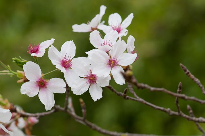 Descanso Gardens Hosts Cherry Blossom Festival March 21 22 Awesome Views Pinterest Cherry