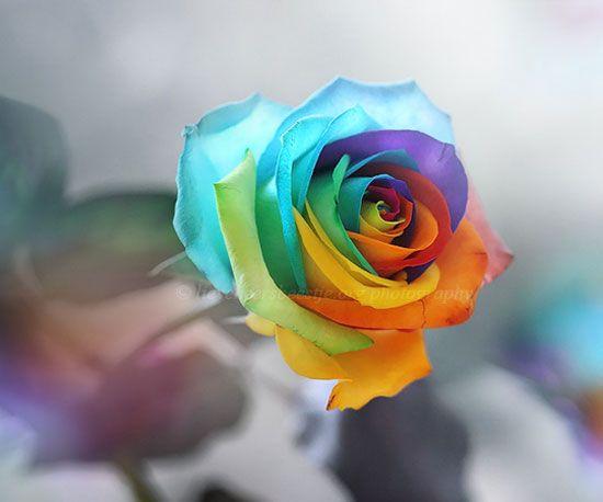 Rainbow Rose Flower Macro Photography 25 Breathtaking Moments of ...