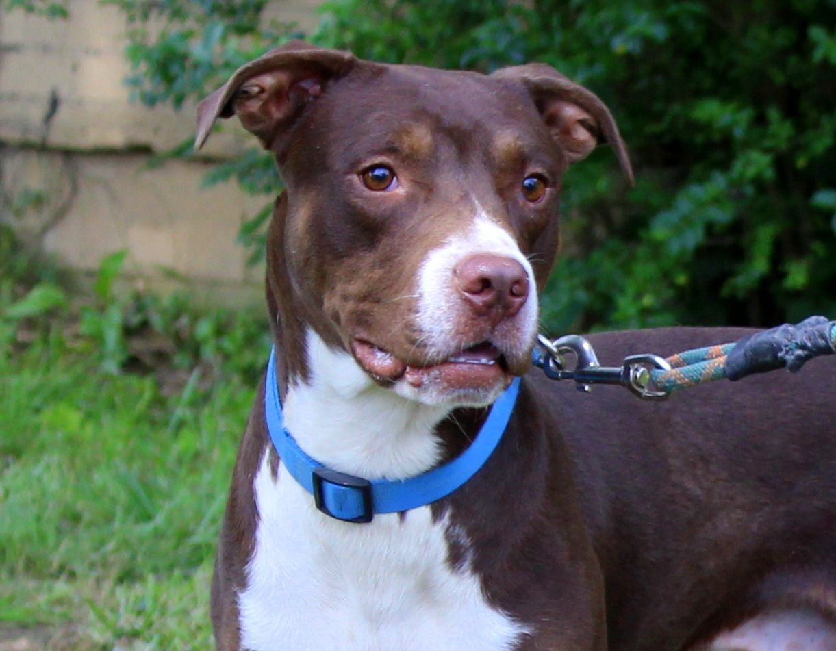 Adopt Grizzly Cat Friendly On Pitbulls Pitbull Terrier Dogs