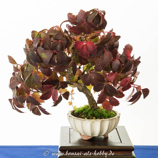 wilder wein als shohin bonsai bonsai b ume bonsai bonsai baum und baum. Black Bedroom Furniture Sets. Home Design Ideas