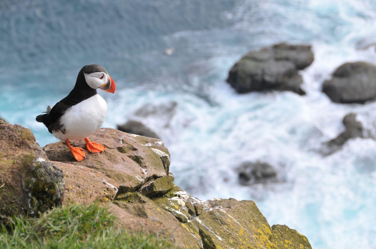 Le Macareux Moine Dans Les Cotes D Armor Oiseaux Marins Animaux Islande