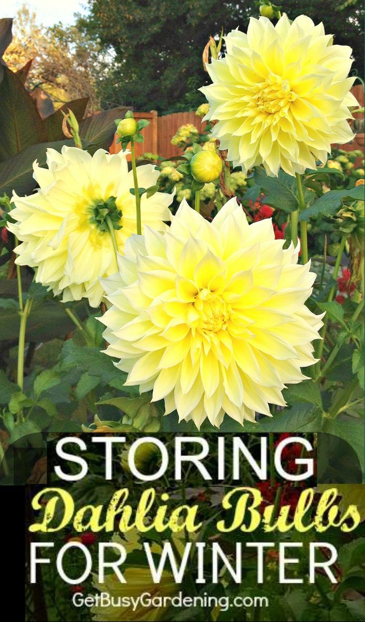 How To Store Dahlia Bulbs Storing Dahlia Tubers Over Winter Bulb Flowers Winter Plants Growing Dahlias