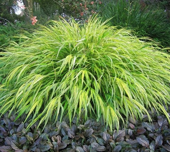 Aureola Japanese Forest Grass Pool Pinterest Plantas de sombra