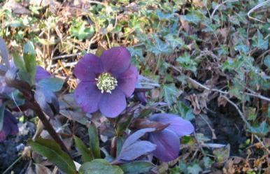 Helleborusblüte in meinem Garten