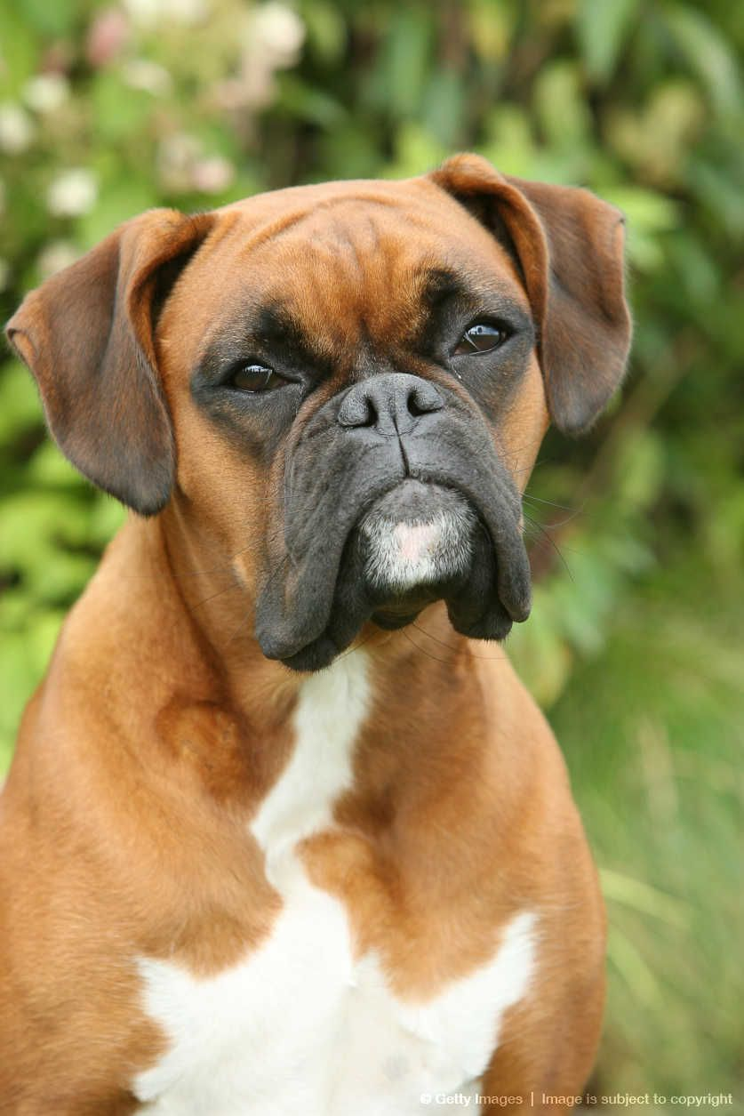 Boxer What A Little Mush Mush Face Boxer Dogs Boxer And Baby Boxer