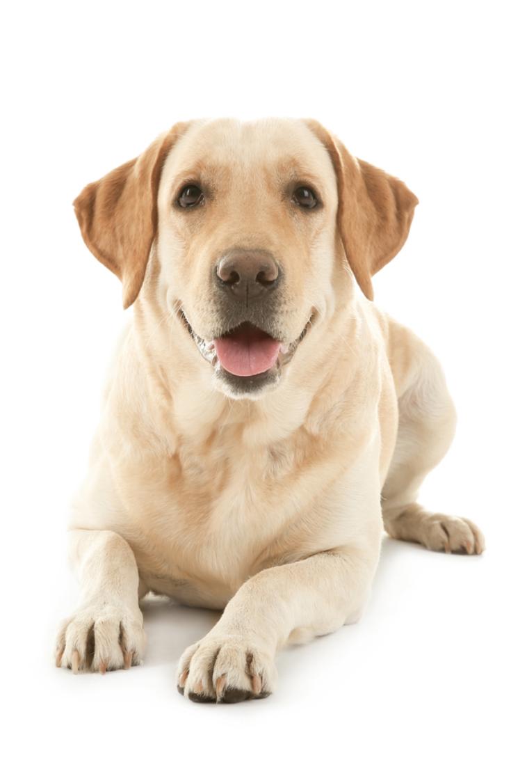 Cute Labrador Retriever On White Background Labradorretriever Golden Retriever Labrador Labrador Labrador Retriever