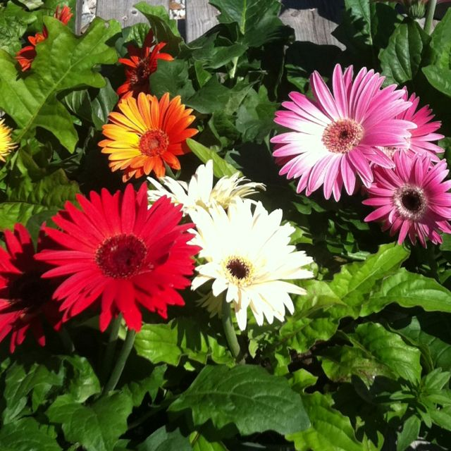 Bold faced Gerbera Daisies- let seed heads drop to the ground and enjoy them in the years to come.