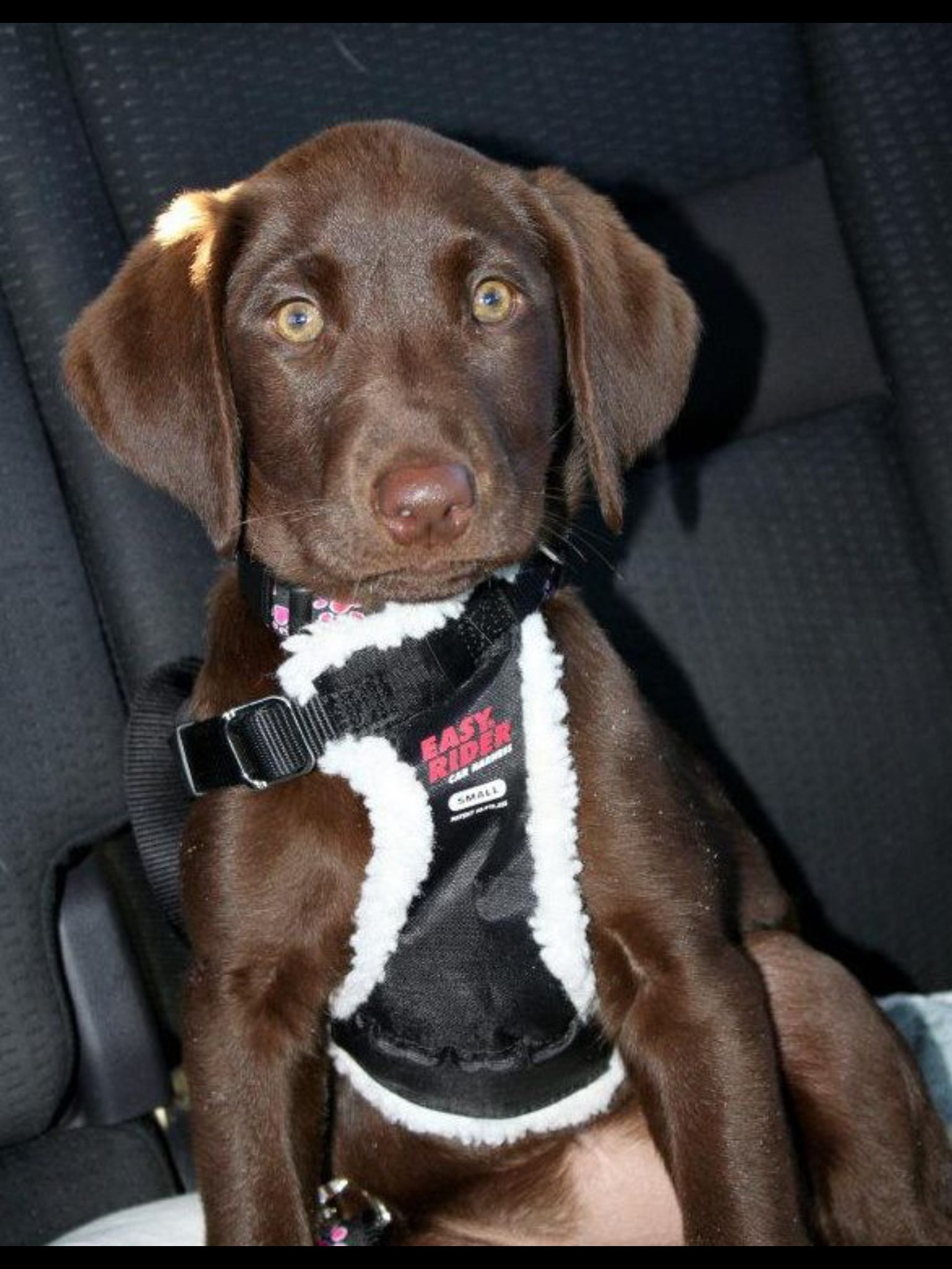 Chocolate lab puppy, Reese......first car ride!
