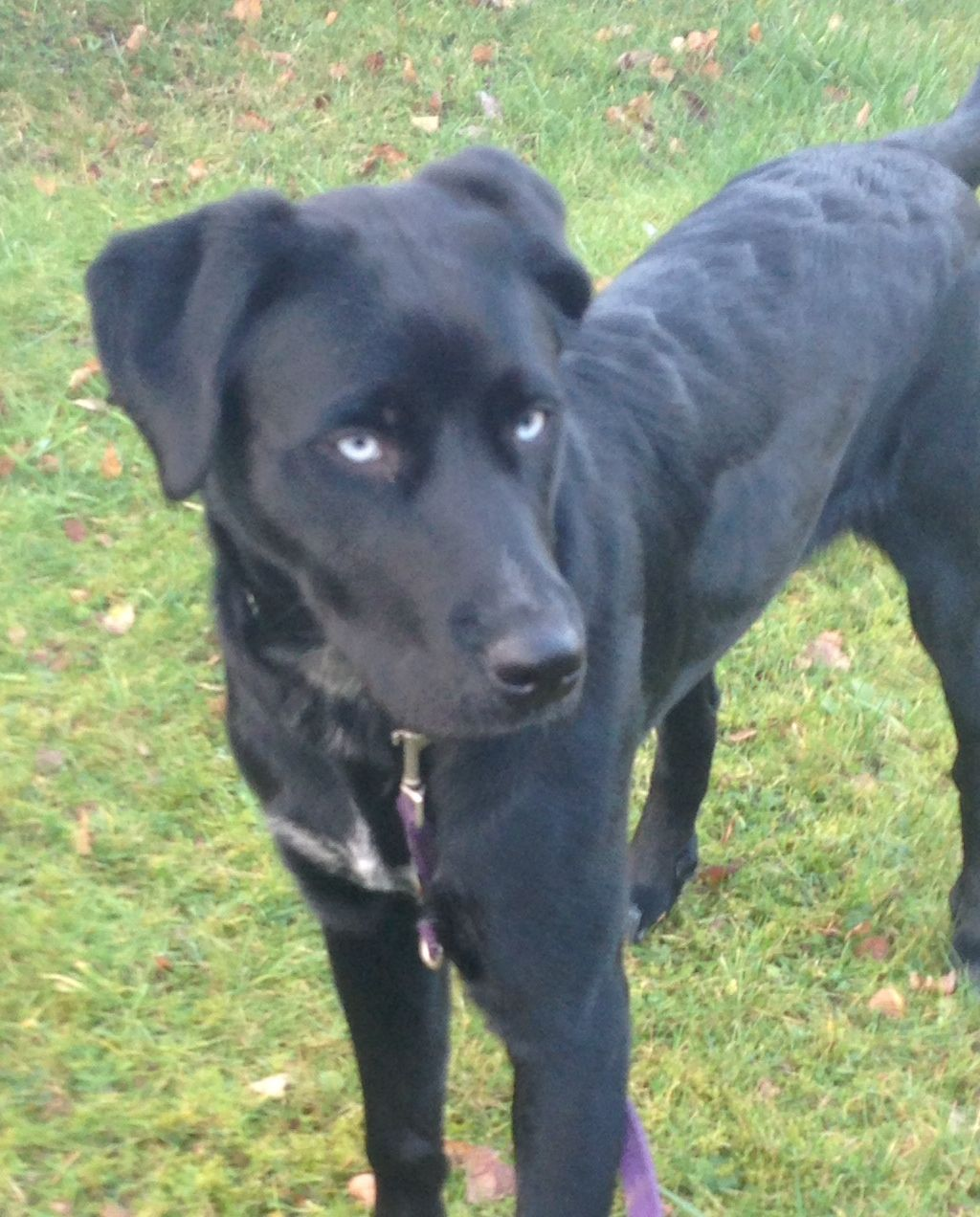 Bluna Labrador Huski Hoverwardt Pawshake Labrador Retriever Lustige Hunde Hunde
