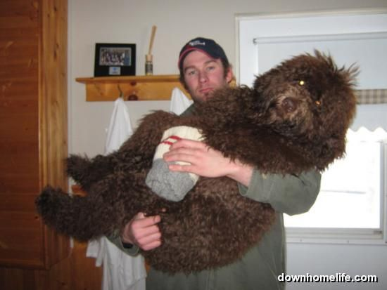 Brad And Tipper Labradoodle Puppy