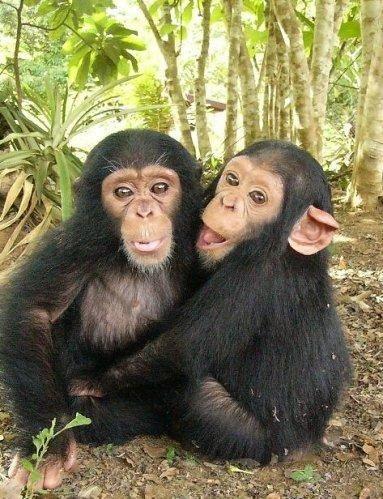 Baby chimps hugging | makes me smile ! | Rainforest animals
