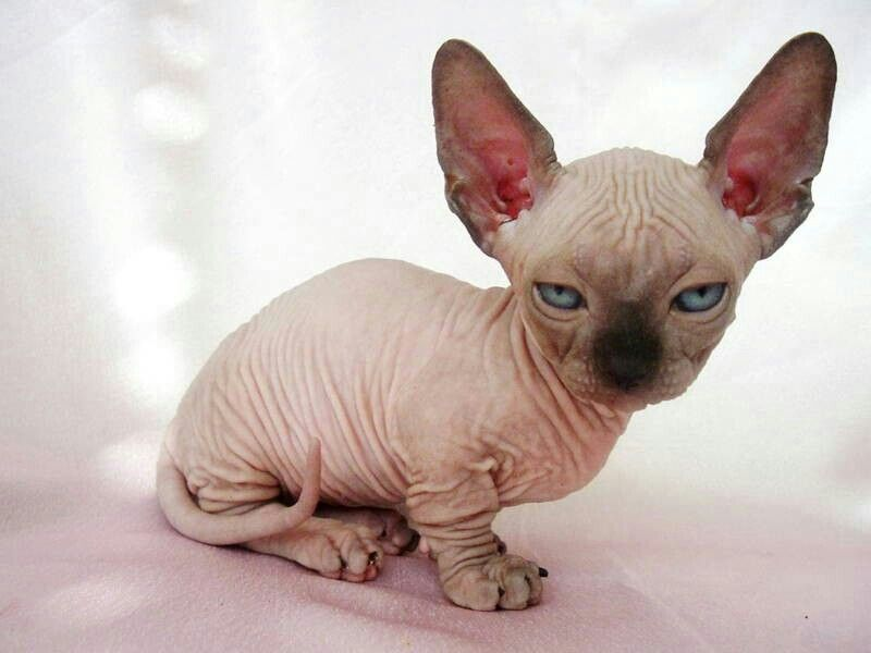 Hairless cat.