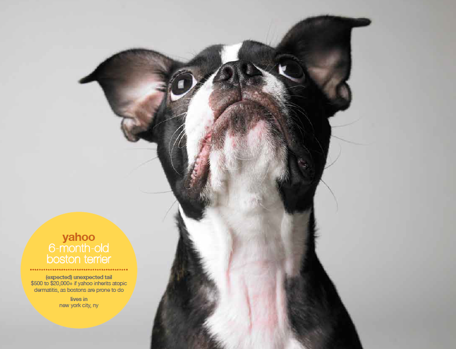Mr November 2011 Yahoo A 6 Month Old Boston Terrier Unexpected