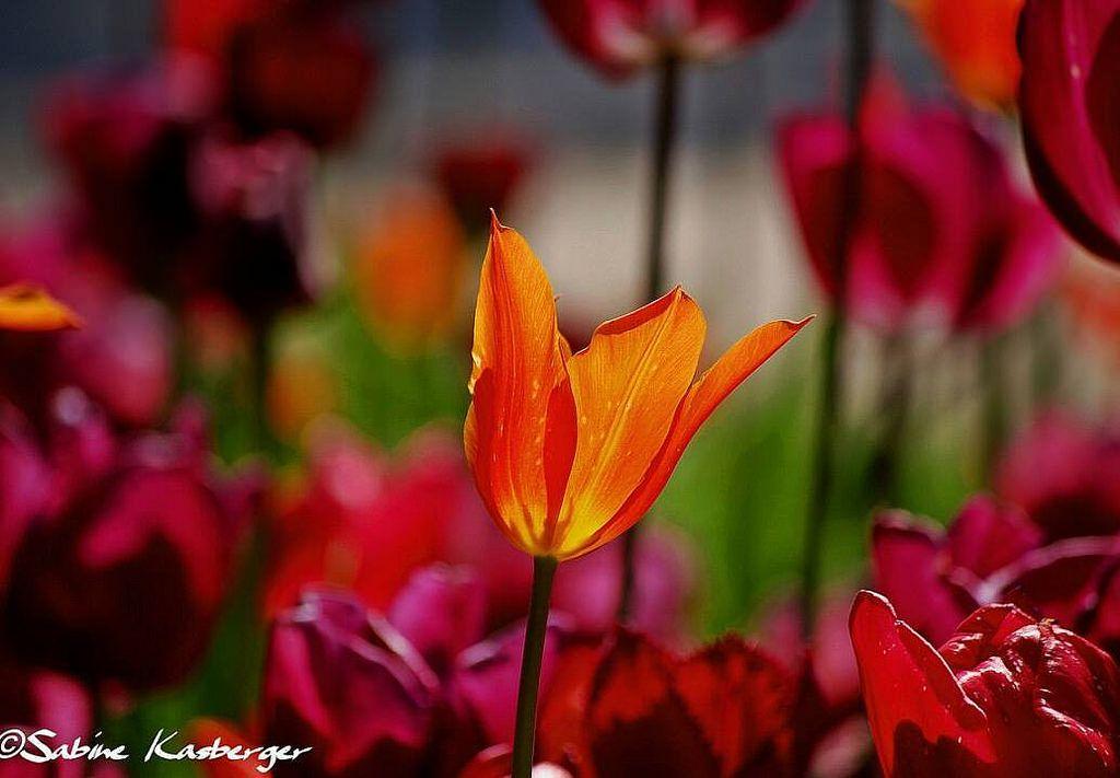 #flickr #spring #frühling #nature #natur #düsseldorf #ddorf #ddorfcity #germany #german #dus #dusseldorf #ilovedüsseldorf #tulpen #tulips