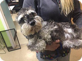 Oak Ridge Nj Special Needs Schnauzer Miniature Meet Zandy A Dog For Adoption Zandy Is A Very Special 8 Year Old Sch Dog Adoption Miniature Dogs Pets