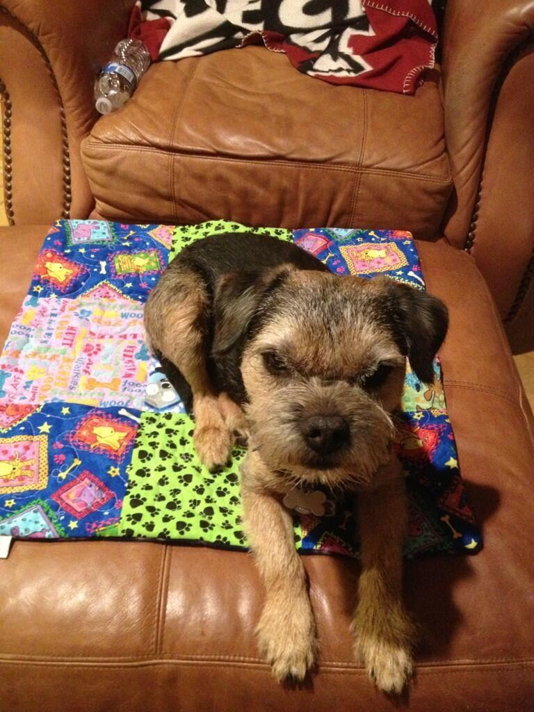 Chester Katie Bt On Border Terrier Brown Dog Terrier