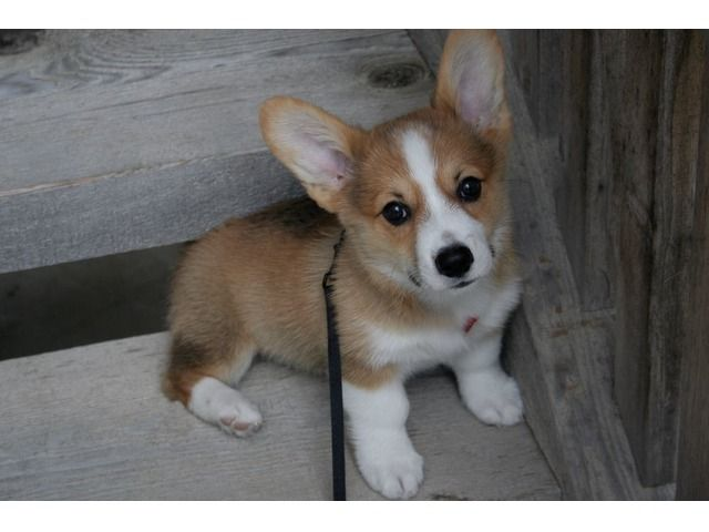 Corgi Puppies For Adoption Corgi Puppies For Adoption Corgi