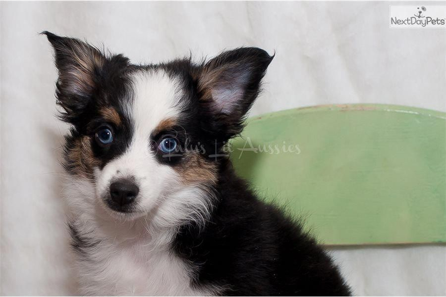 The Traits I Like About The Australian Shepherd Puppy Australianshepherdheart Australianshepherdofsweden Australianshepherdgrey Aussies Australian Shep