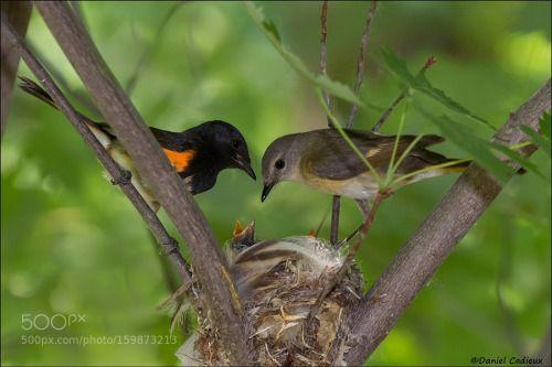 American Redstart Family by DanielCadieux http://ift.tt/28Pfgsa