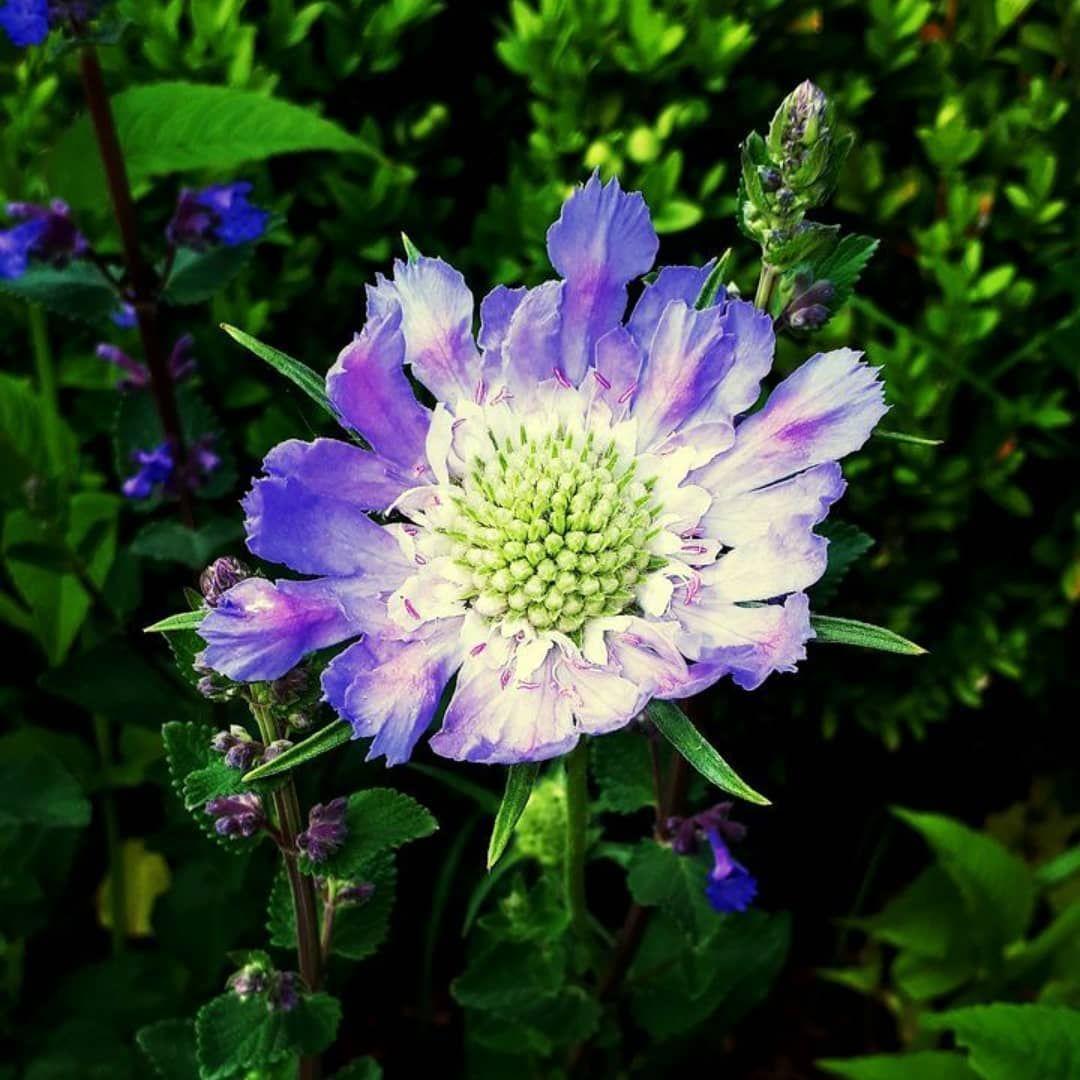 blue flower #blue #flowers #gardeninspiration #green #nature