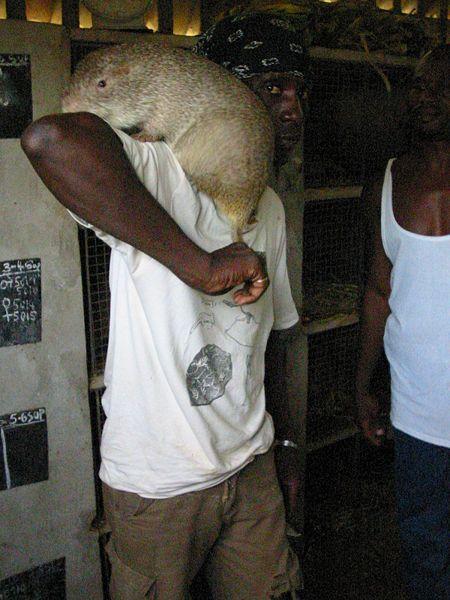 African Rat Bush Rat Giant African Bush Rat Giant African Bush