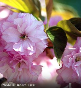 Kanzan Cherry Flowering Cherry Tree Japanese Cherry Tree Trees To Plant