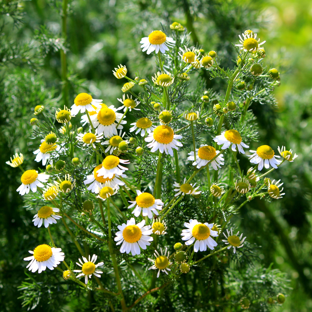 Chamomile Seed Roman Chamomile Herb Seeds Herb Seeds Perennial Herbs Planting Herbs