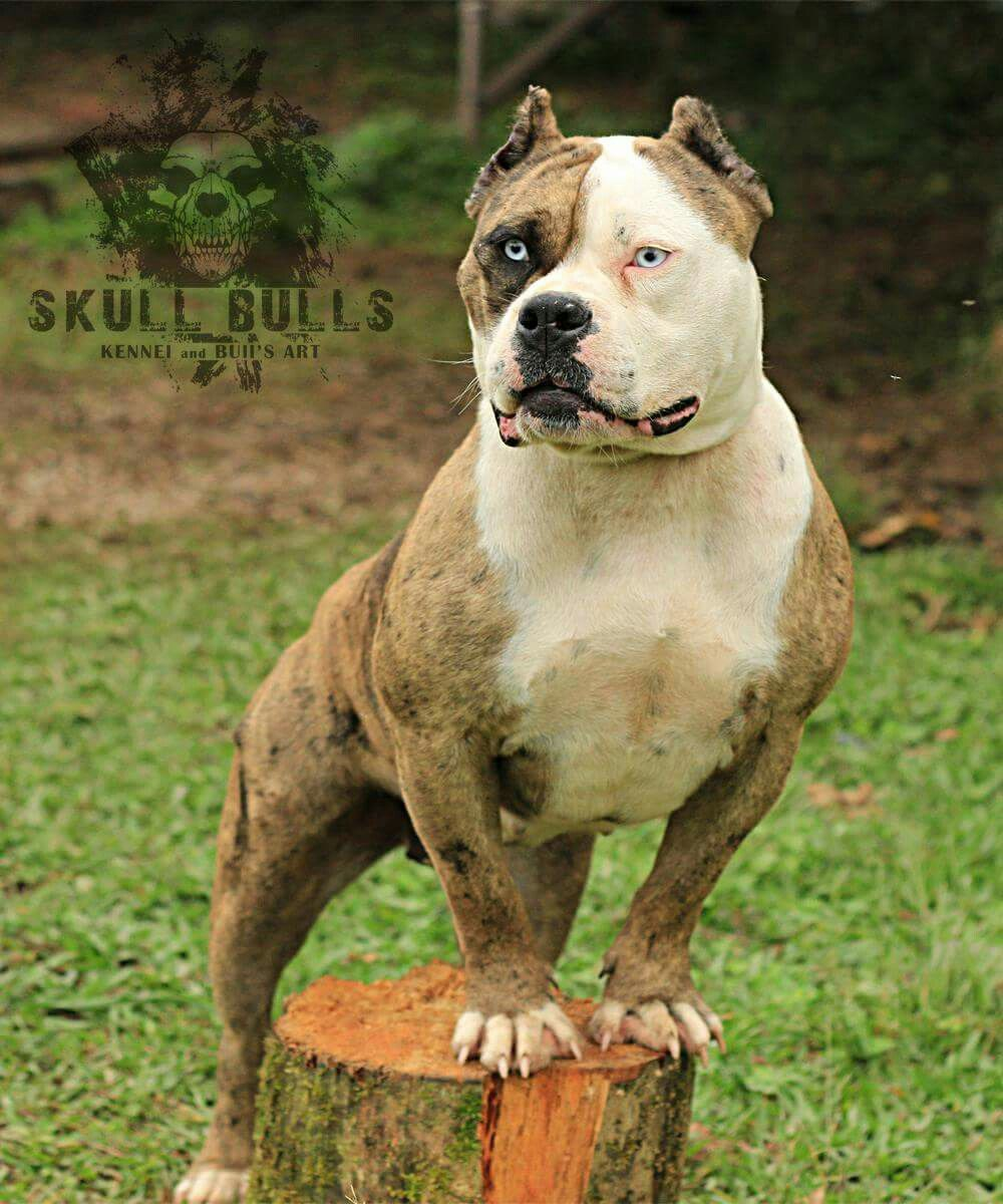 Merle American Bully Bully Dog Unique Dog Breeds Pretty Dogs
