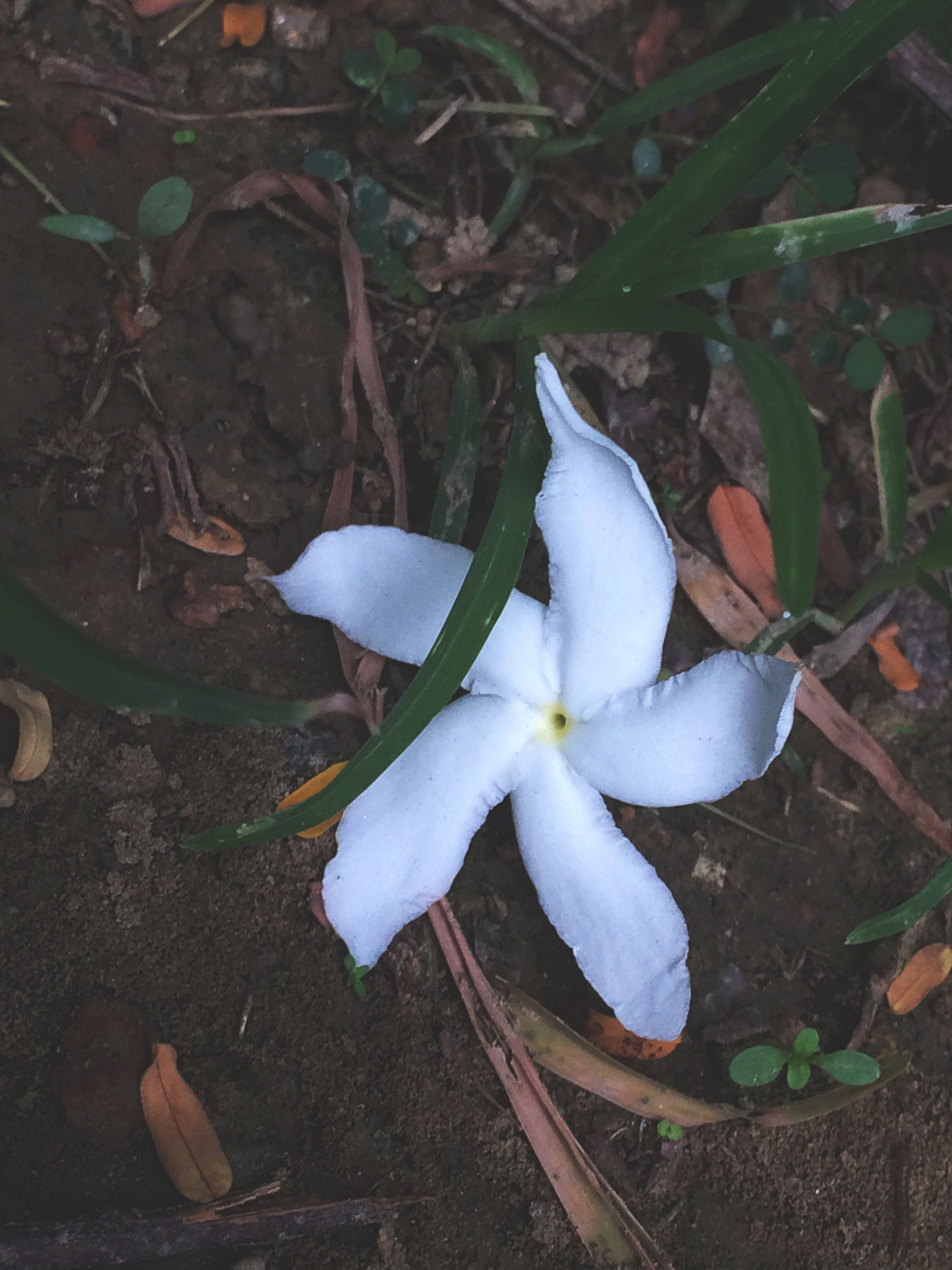 Jasmine The Star Of The Flower Kingdom Love For Flowers