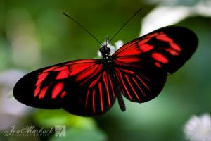 red and black butterfly | Happy Valentine's Day | Butterfly