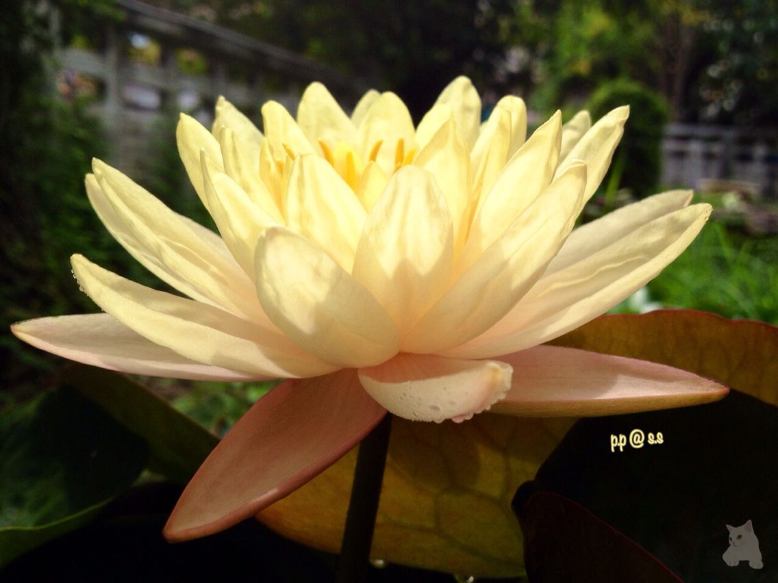 Water Lily The Garden And Plants Flower Florist Floral