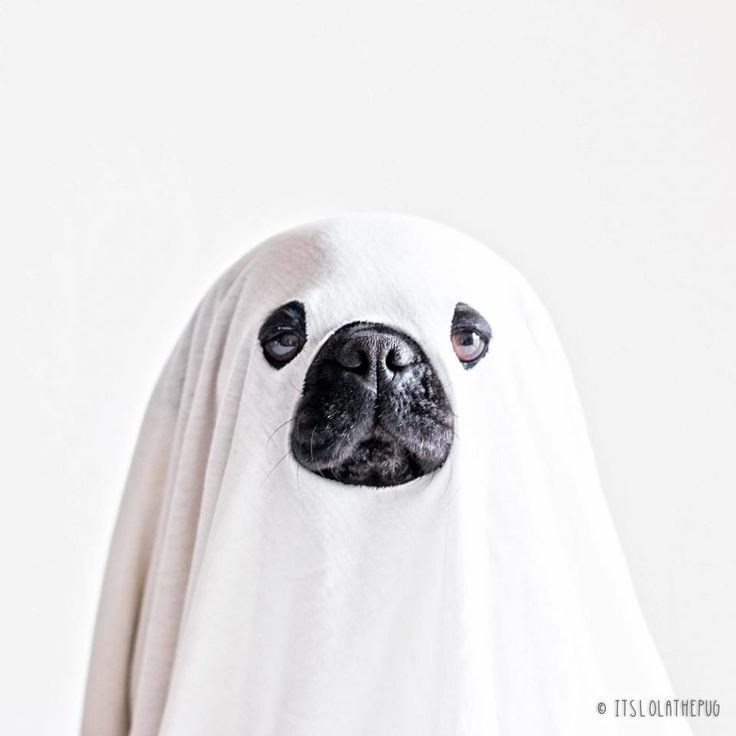 pugs in halloween costumes //.unbelievab.ly/13-pugs-who-are-ready-for-halloween/ : dog ghost halloween costumes  - Germanpascual.Com