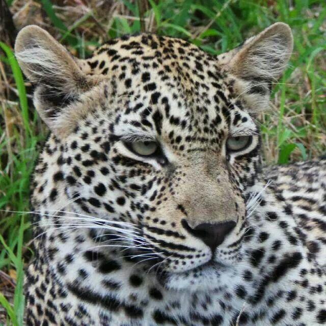Scotia female leopard