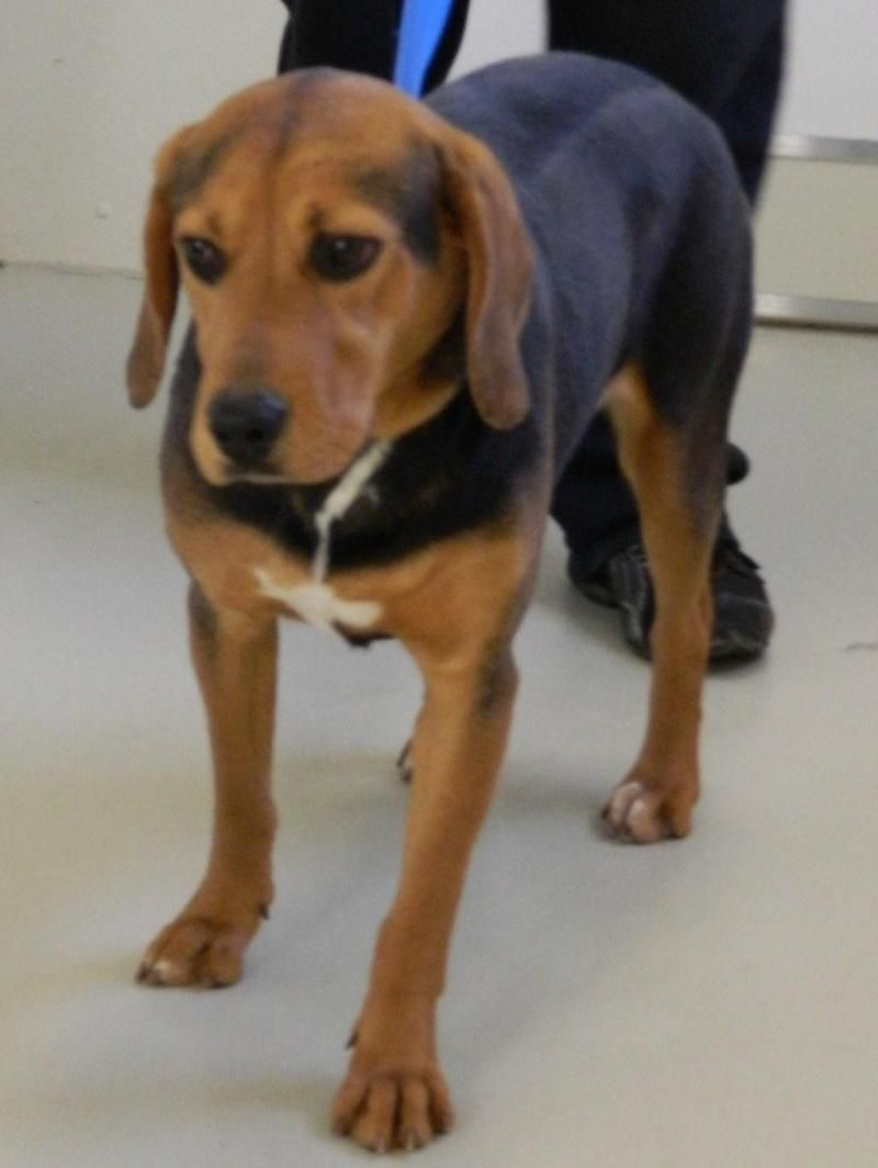 Adopt Ramona On Dogs Up For Adoption Beagle Hound Puppy Care
