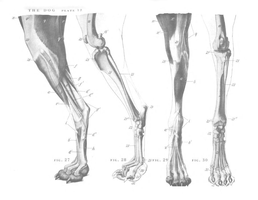 Dog anatomy - hind legs | Veterinary stuff! | Pinterest | Dog ...