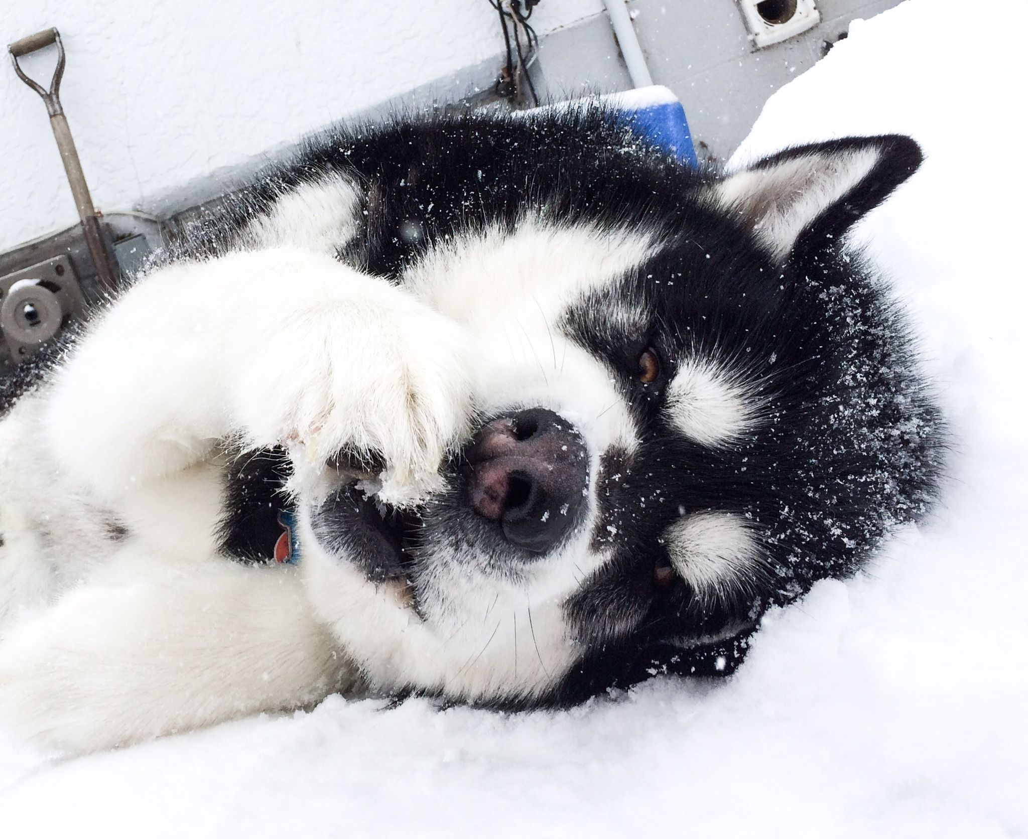 Lounging in the snow giant alaskan malamute marrok animals i giant alaskan malamute marrok nvjuhfo Gallery