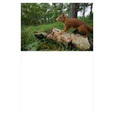 Red squirrel, Sciurus vulgaris, on log, Formby, La Poster
