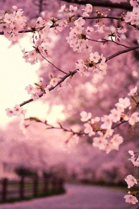 Cherry Blossoms Beautiful Flowers Blossom Trees Sakura Cherry Blossom