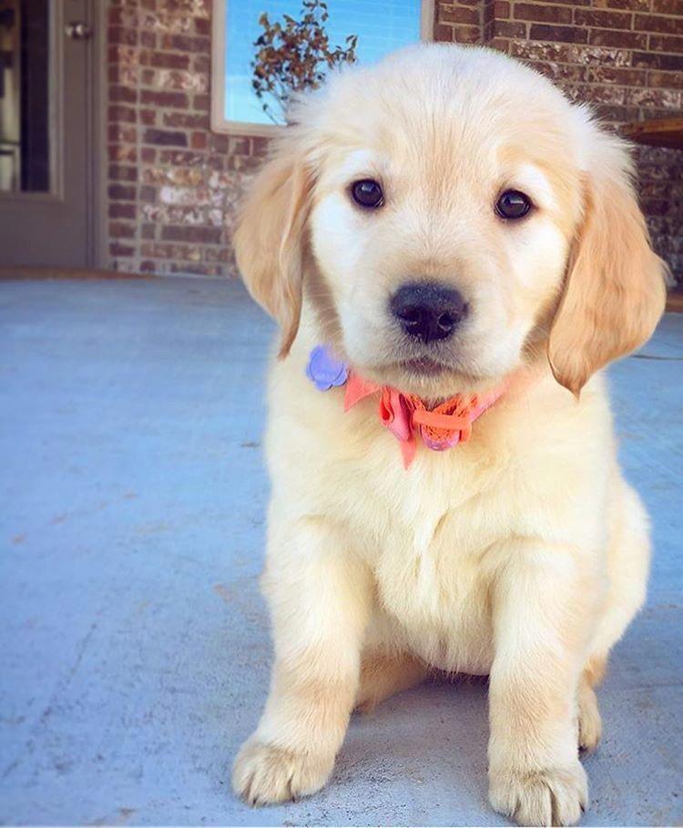 Cute Golden Retriever Puppy Puppiessocute Cute Dogs Golden Dog