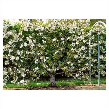Espaliered Sweet Cherry Merton Glory In Blossom Gorgeous When In Bloom Blossom Trees Pruning Fruit Trees Espalier Fruit Trees