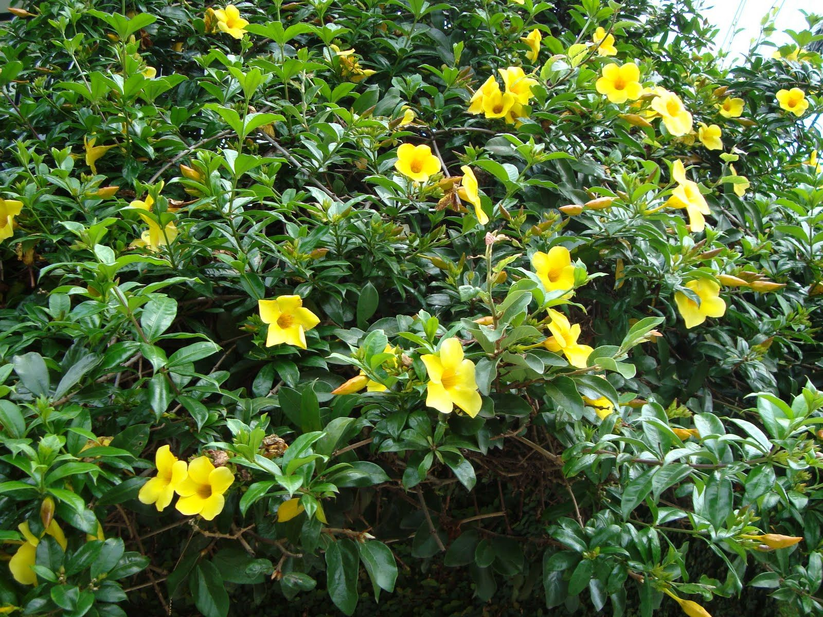 The yellow allamanda allamanda cathartica the buttercup for Garden trees with yellow flowers