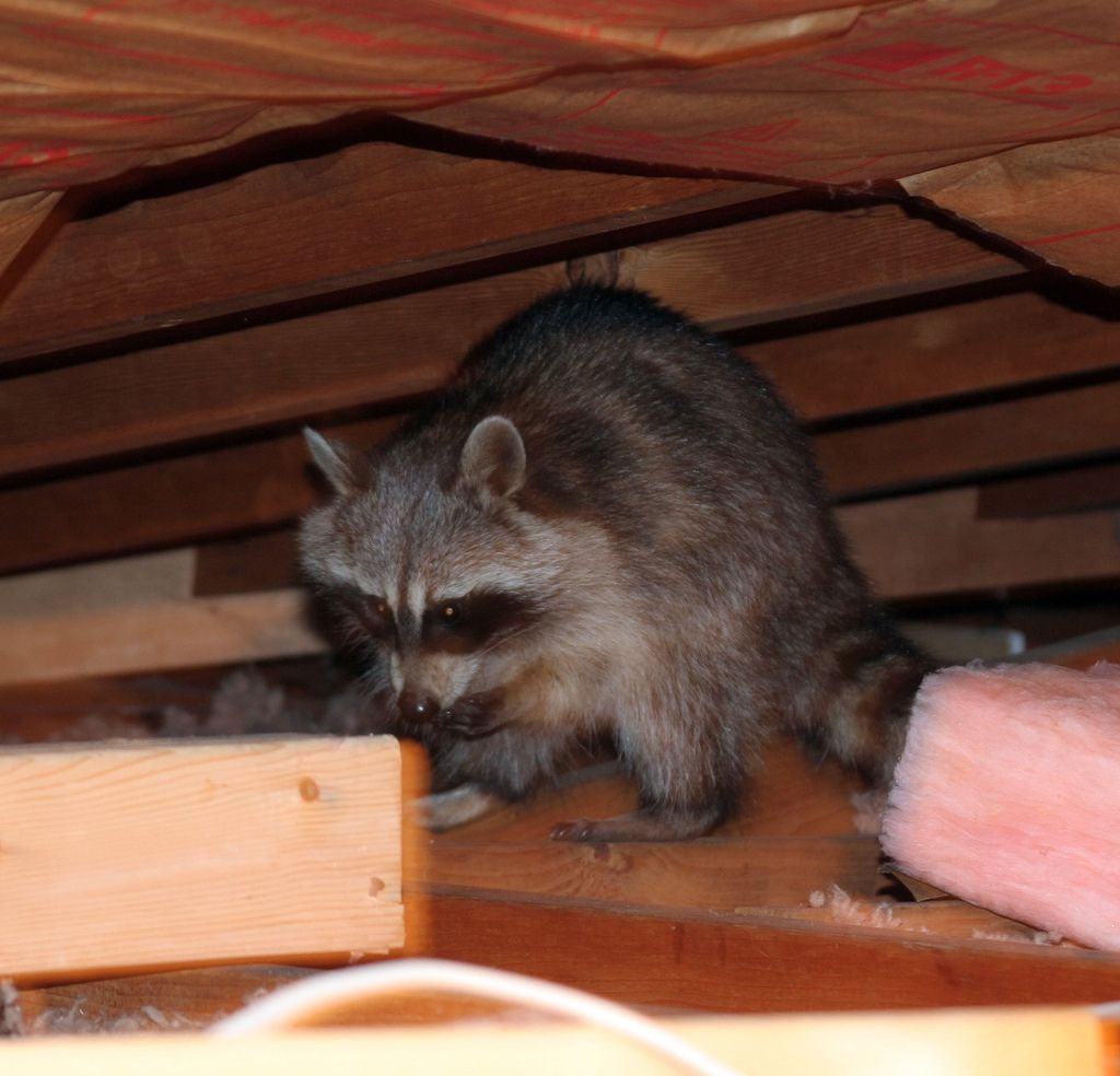 how to get rid of baby raccoons in attic